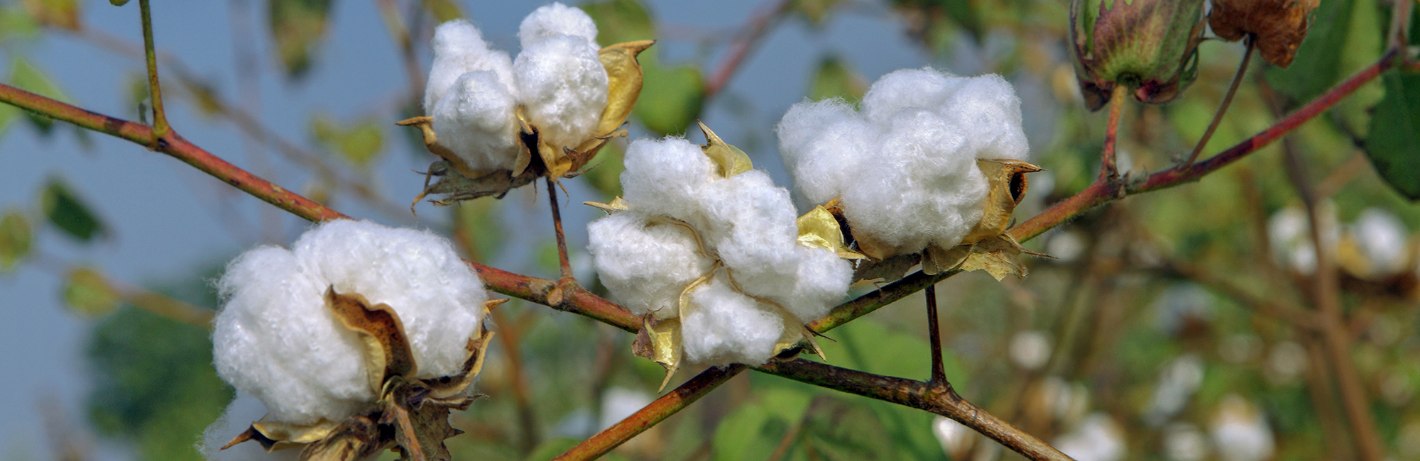 Myth Buster: Egyptian Cotton – a luxury or ancient myth? - News - CLEAN Services